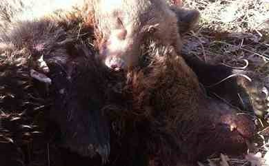 Photograph of the two bears, released by Arcturos