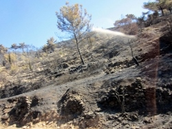Burnt mastic trees in Chios Fires 2012.