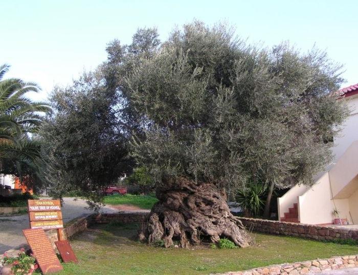 vouves-olive-tree-1