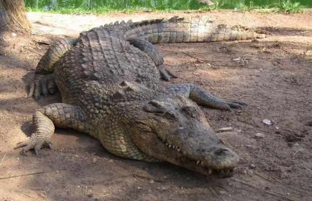 crocodile_Greece