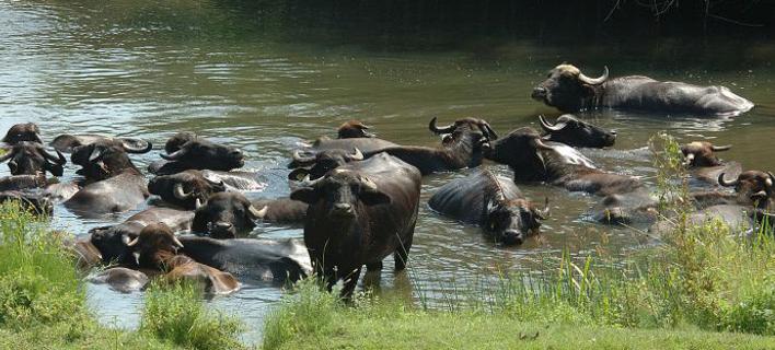 buffalo708
