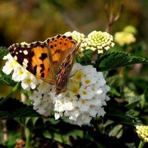 chania flora