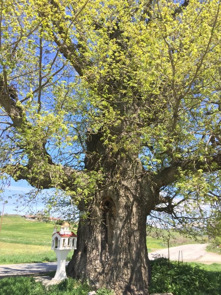 Oak tree Greece