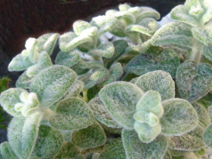 Herbs Greece