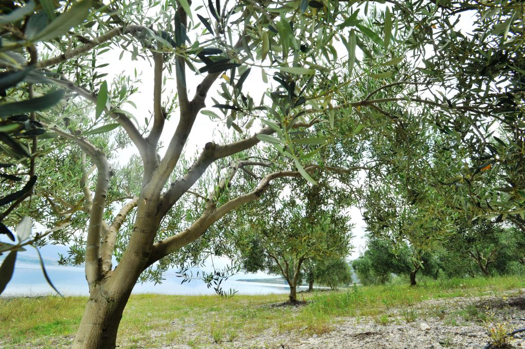Young olive trees on Mount Olympus, with water in the background