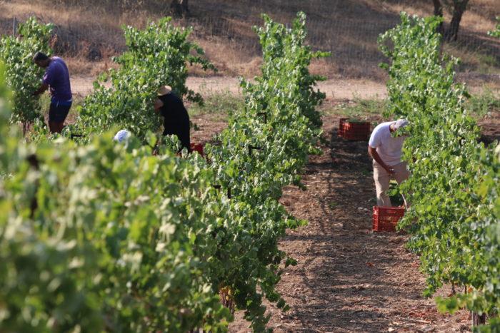 Harvest of Vidiano variety (Photo courtesy Stelios Klados).
