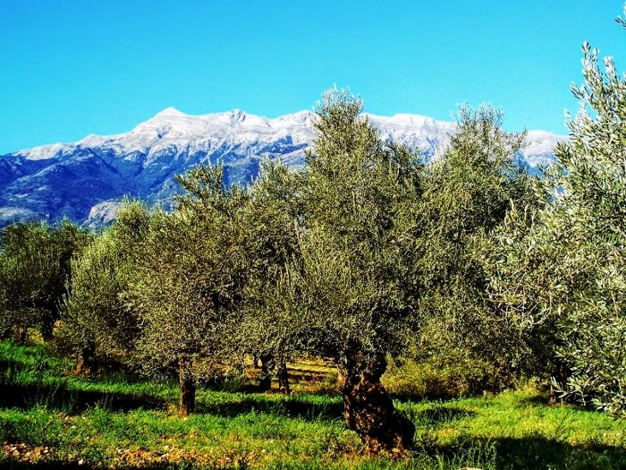 The Sakellaropoulos family olive groves, with the Taygetos Mountain in the background