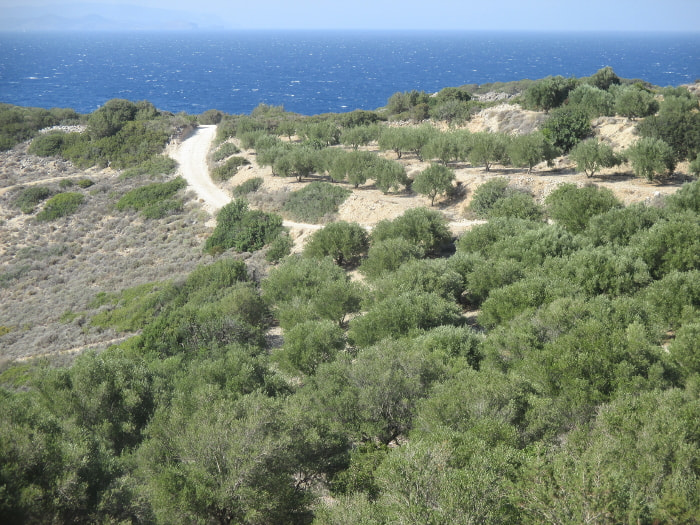Olive groves by the sea in northeastern Crete, Greece