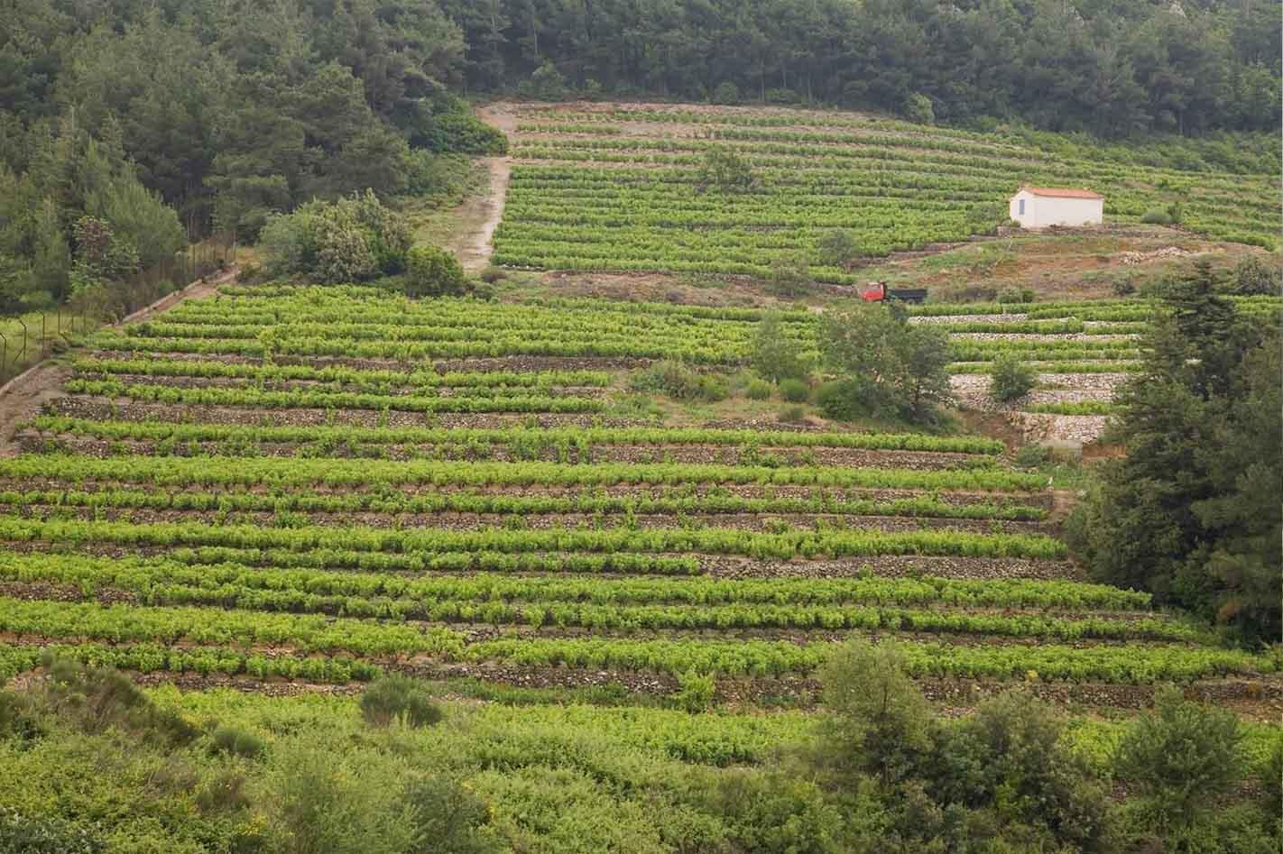 Vineyards on Samos