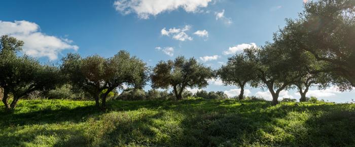 a Greek olive grove
