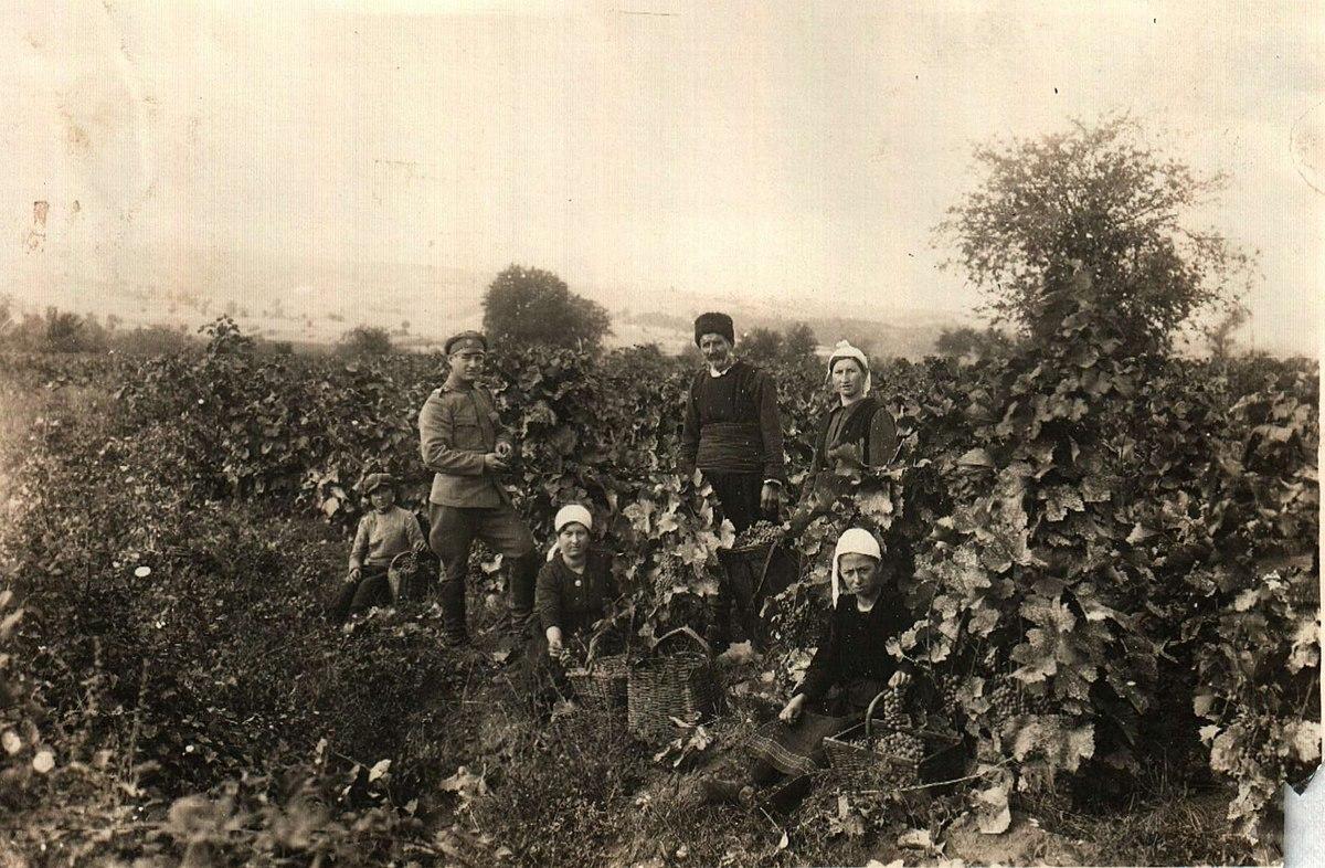 Συγκομιδή σταφυλιών στην περιοχή Χωριστή, Ντραμ κατά τη συγκομιδή του Β 'Παγκοσμίου Πολέμου