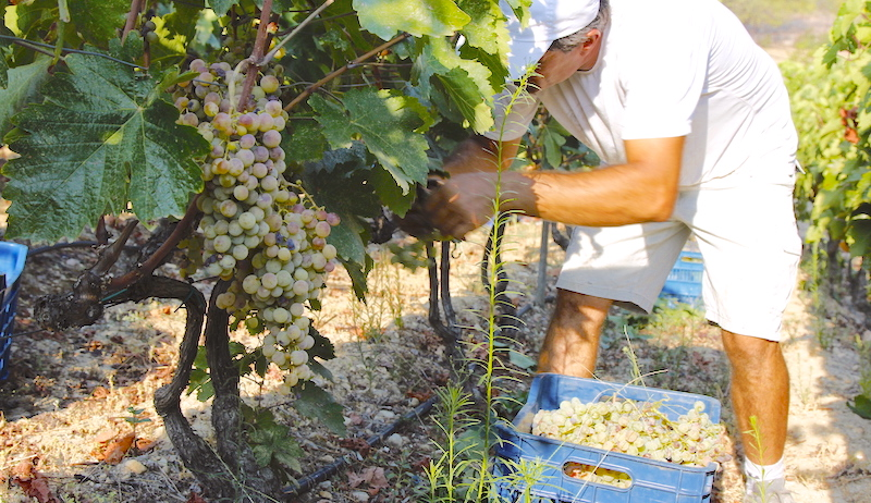 A man gathering the grapes in the big baskets