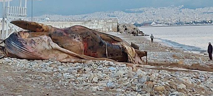 dead whale piraeus