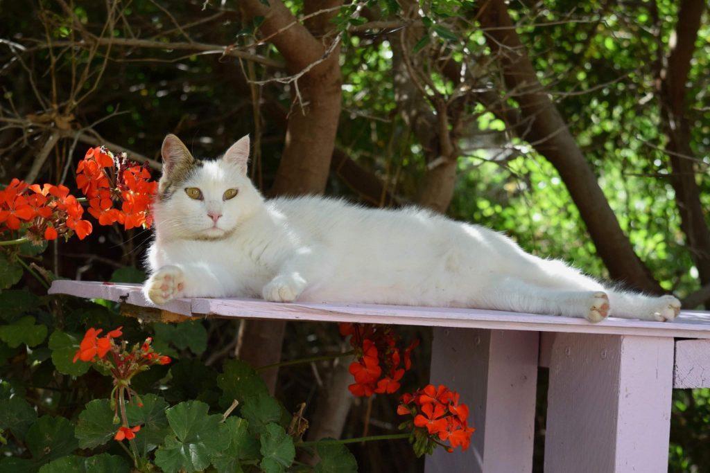 cat greek