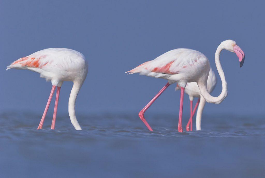 Flamingos Greece
