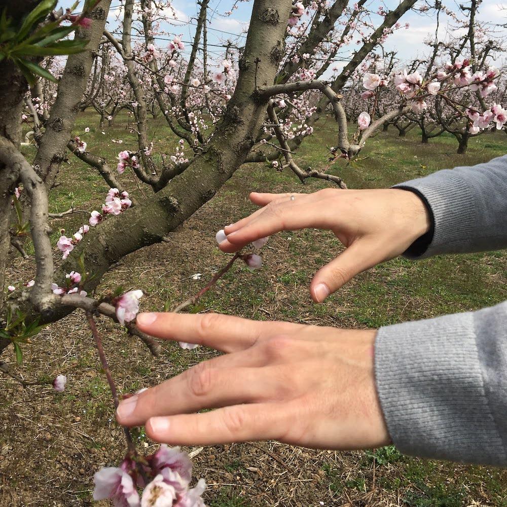 peach trees piano manos milonakis