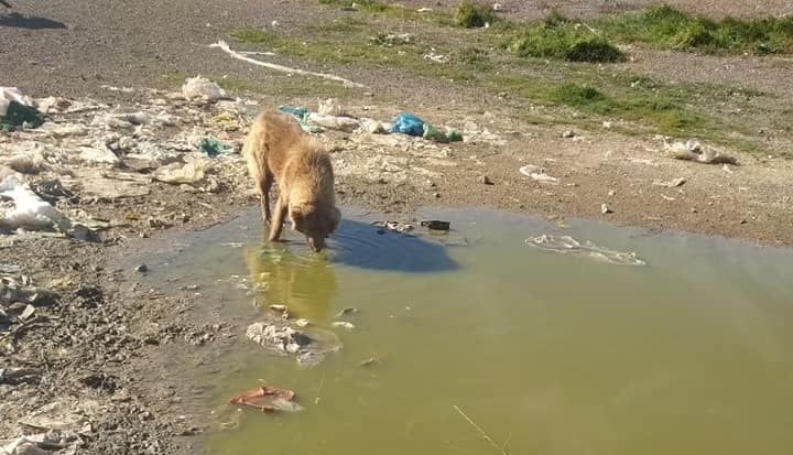 A dog drinking water from puddles on the landfill