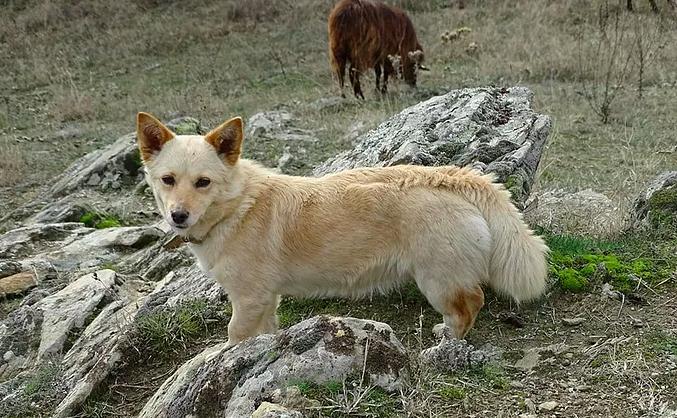 Alopekis ancient greek dog breed