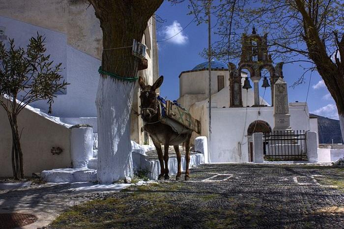 Donkeys and mules of Santorini