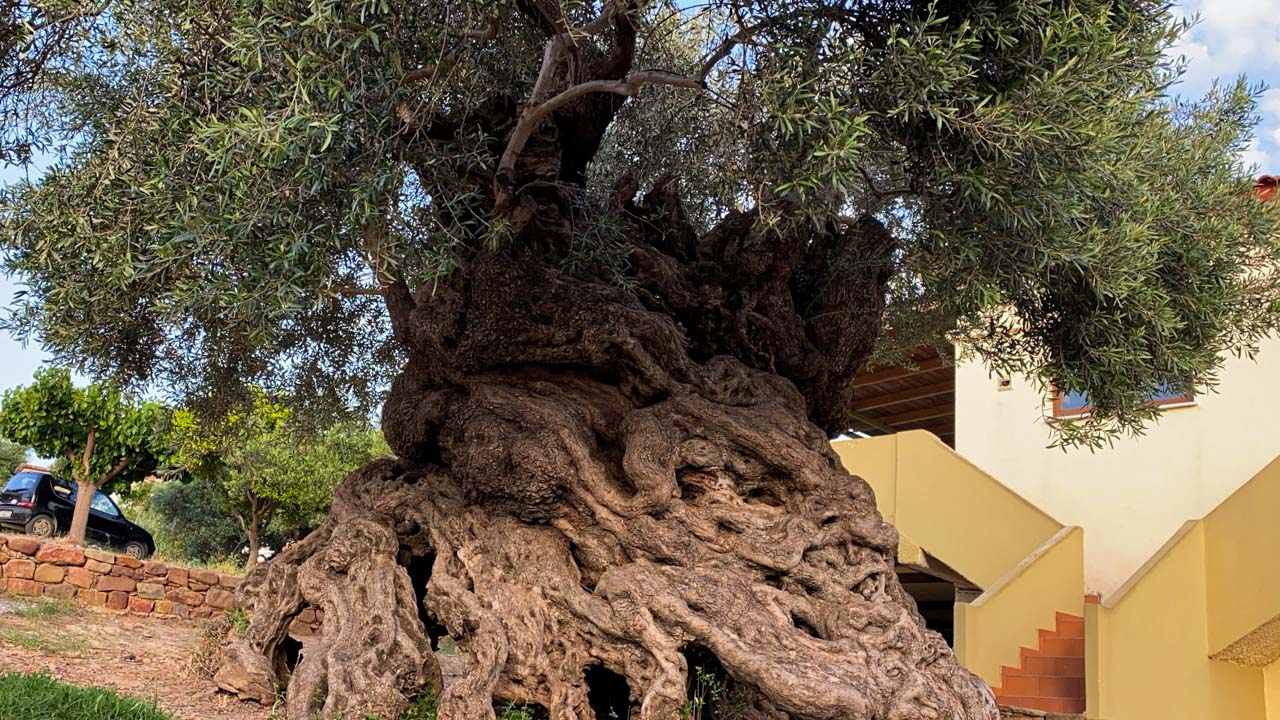 Oldest olive tree