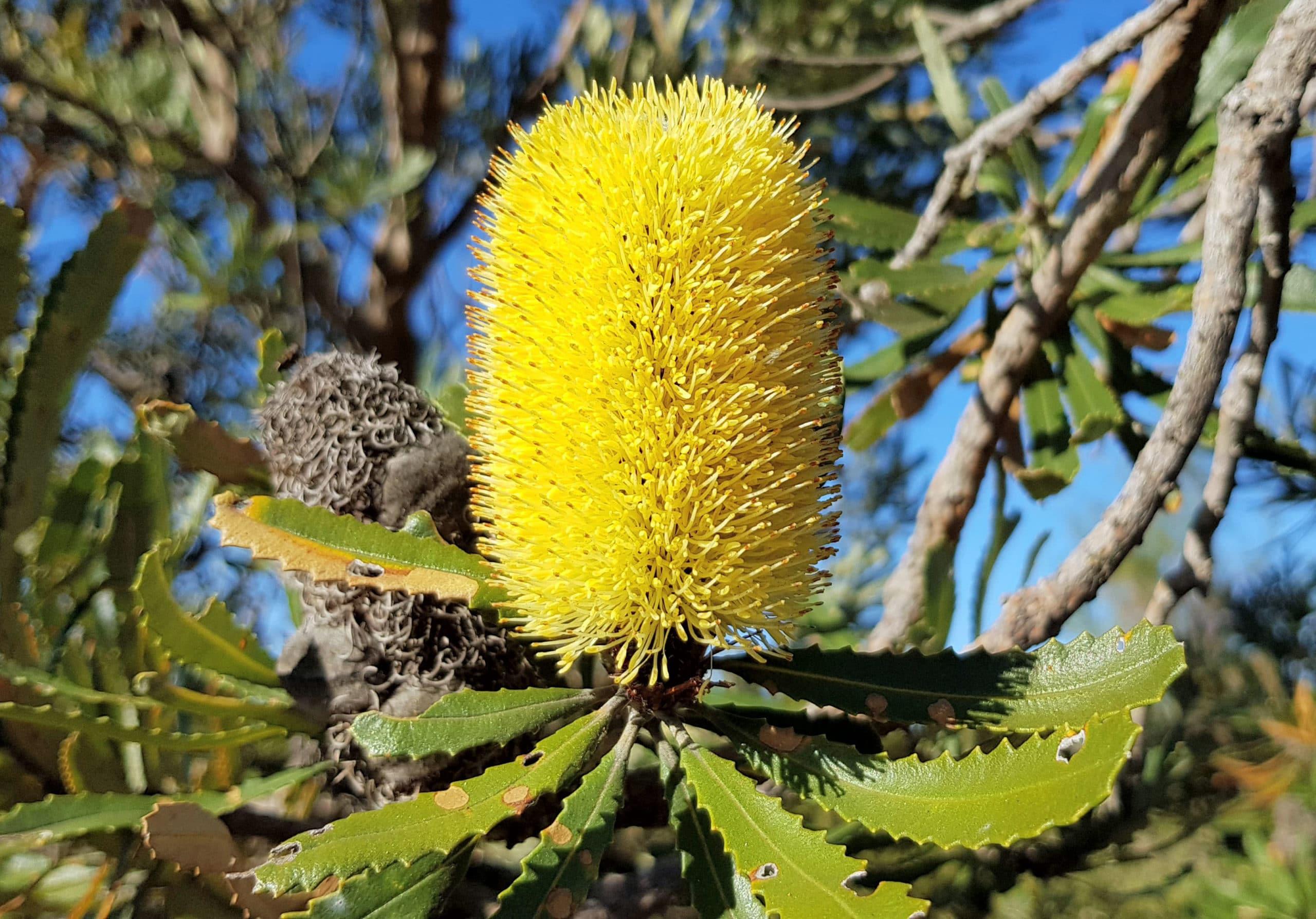 pyrophyte