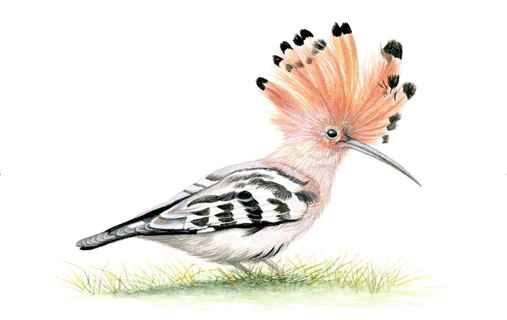 Hoopoe bird of Greece