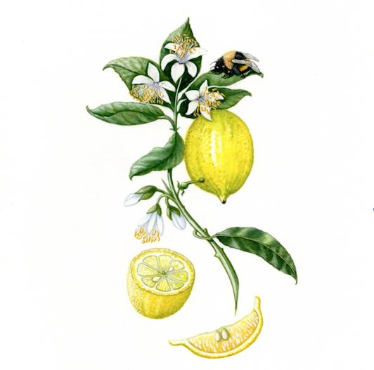 Lemons watercolor