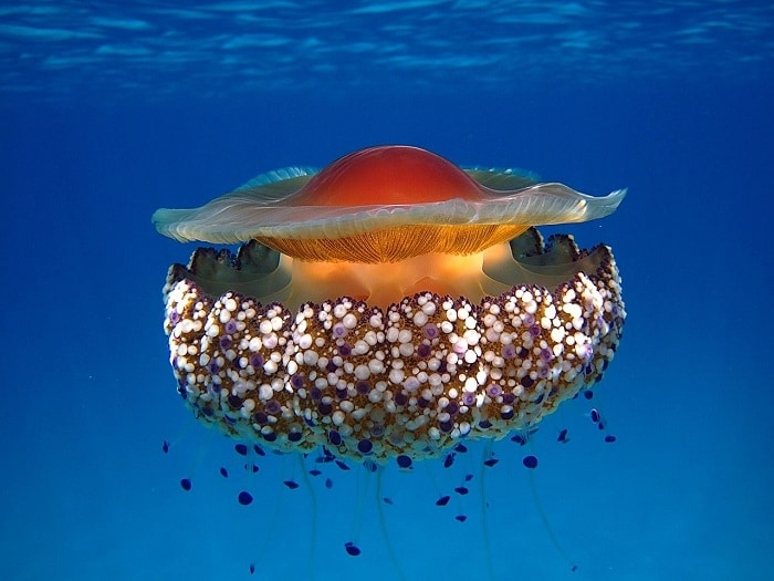 jellyfish Greece