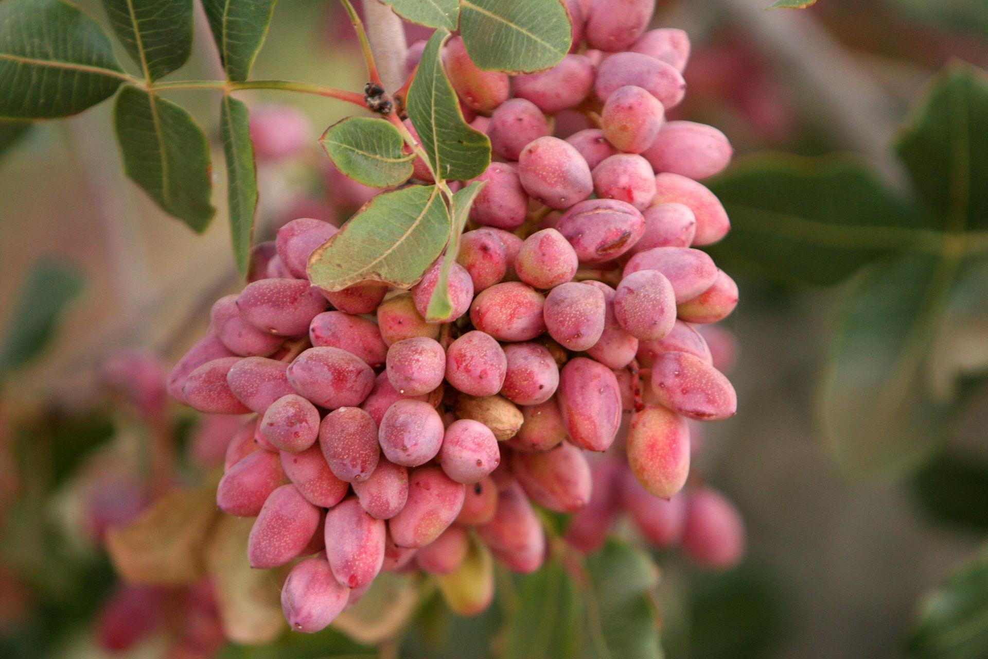 pistachio aegina