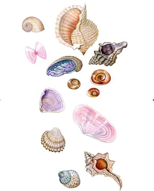 Seashells of Greece