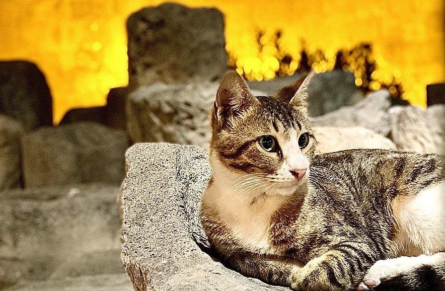 CYPRUS GREECE CAT BREEDS AEGEAN CAT