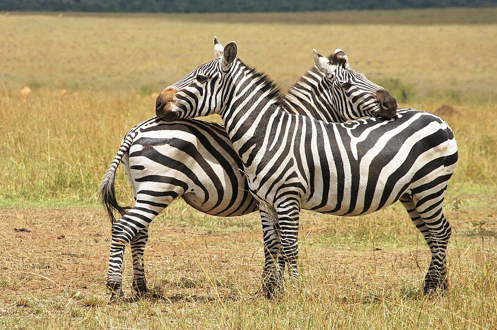 Escaped zebras